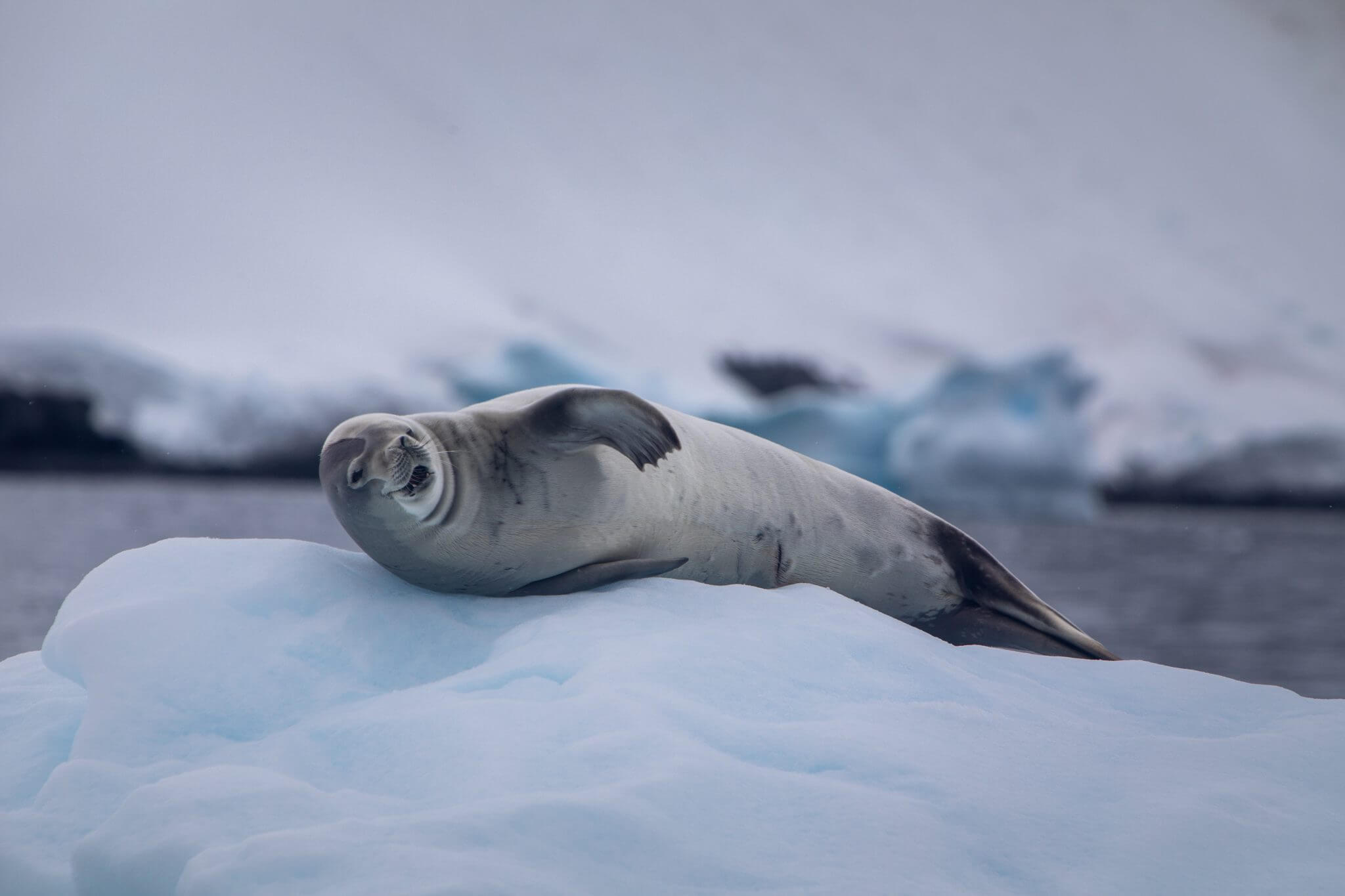 A lone crabeater seal spotted on a Cookson Adventure in Antarctica