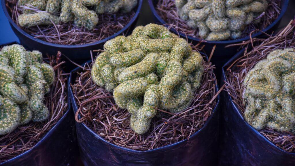 Brain Cactus